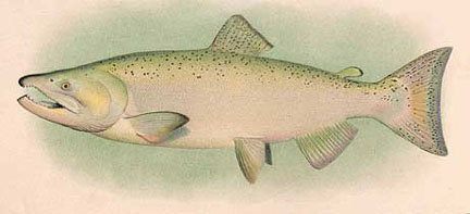 Drawn example of King (Chinook) Salmon