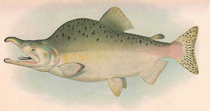 Drawn example of Pink (Humpy) Salmon