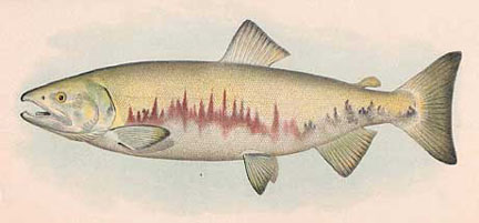 Drawn example of Chum (Dog) Salmon