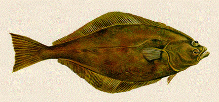 Drawn example of Halibut