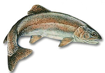 Drawn example of Rainbow Trout