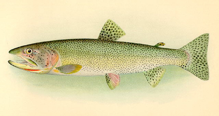 Drawn example of Cutthroat Trout