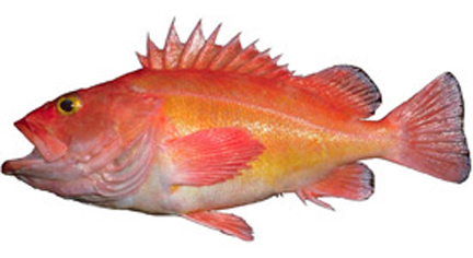 Drawn example of Rockfish