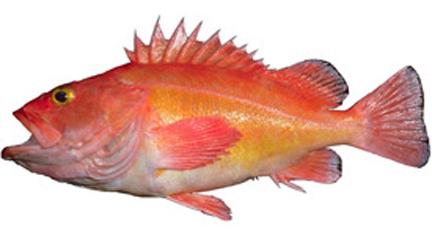 Yelloweye rockfish yes bay lodge for Types of fish in alaska